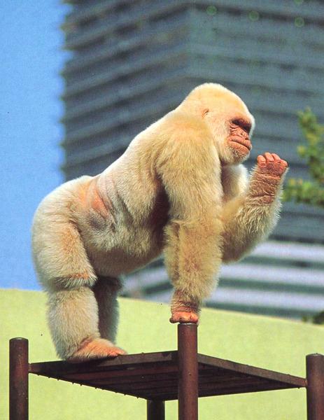 Горила альбинос.jpg