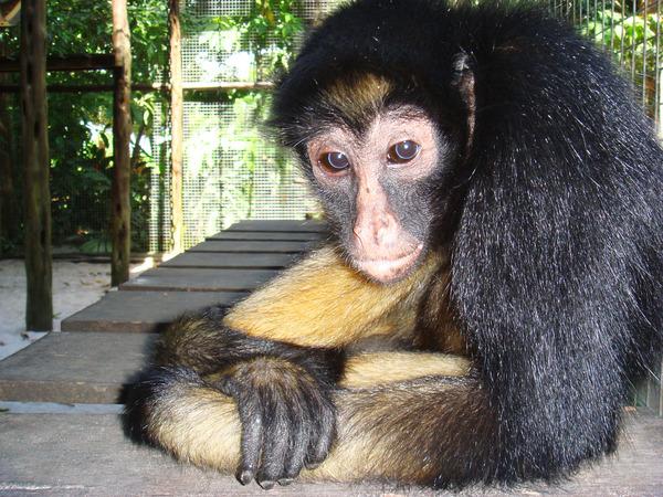 Паучья обезьянка.JPG