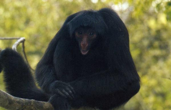 Паучья обезьяно.jpg